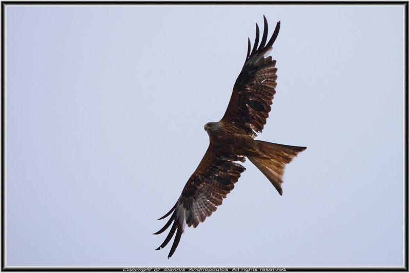 Red Kite/////