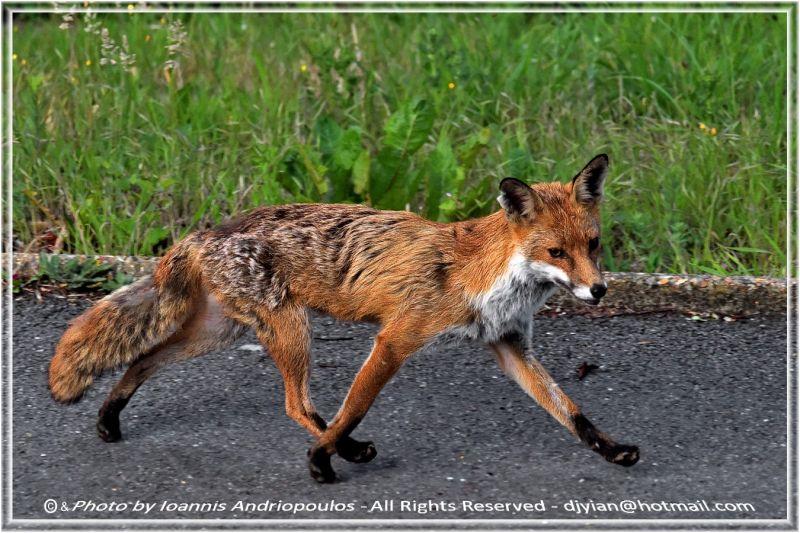 Red fox(Scientific name: Vulpes vulpes)
