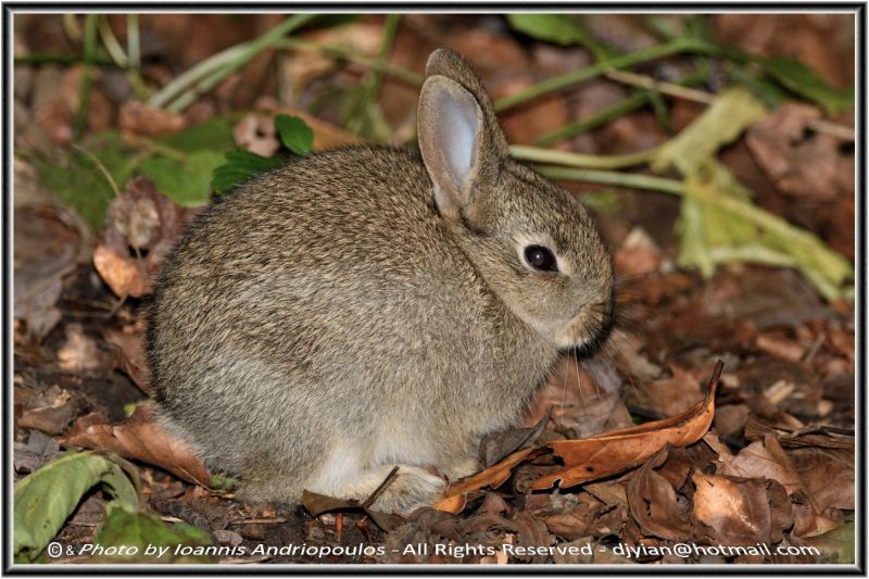 Young  Hare (δυστηχωs με φλαs)