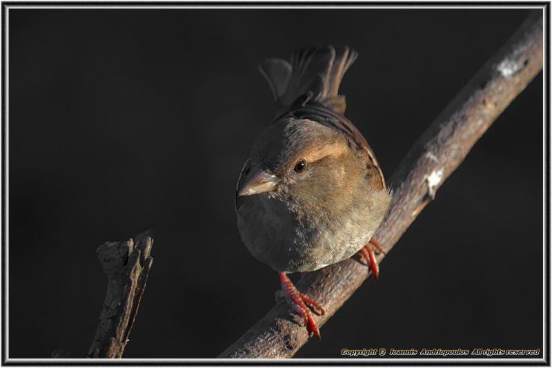 Sparrow(female)