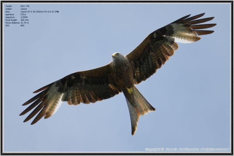 Red Kite.,