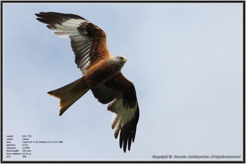 Red Kite,,,
