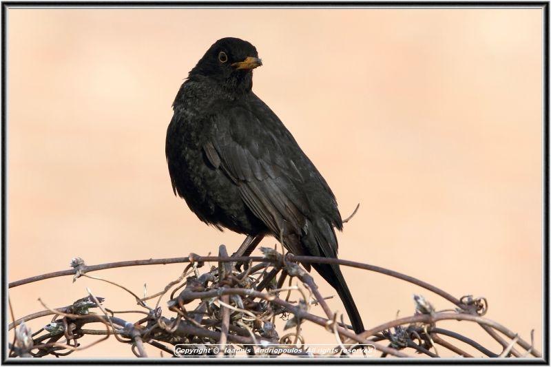 Blackbird.-