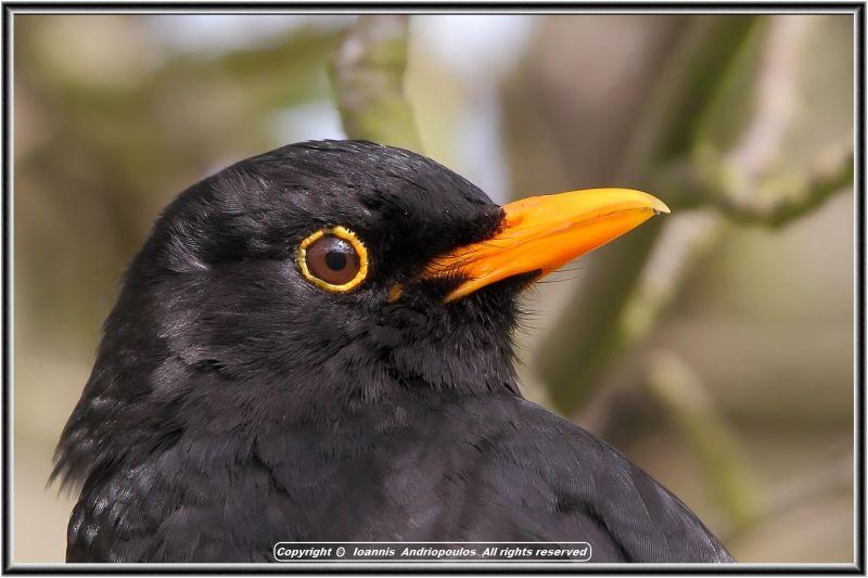 Blackbird profile