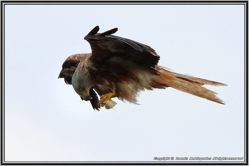 Red Kite (Snack Time)