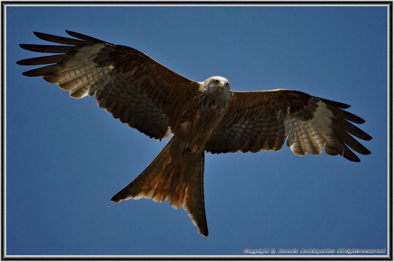 Red Kite-