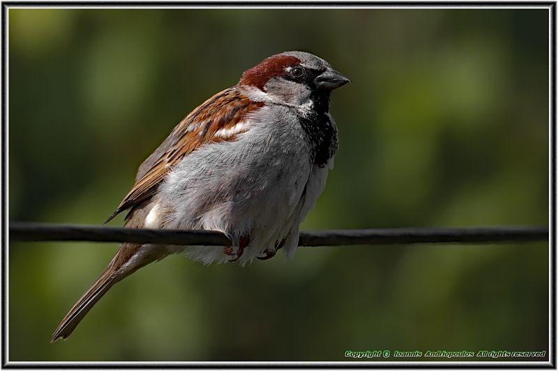 Sparrow(male)