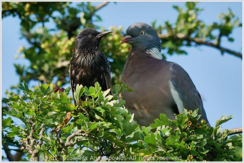 Starling & Pigeon