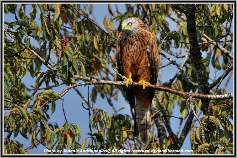 Red Kite- (Scientific name: Milvus milvus)-Ψαλιδιάρης--