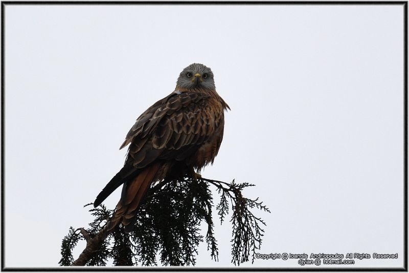Red Kite on a foggy day