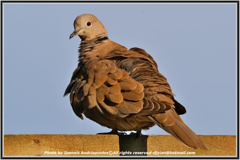 Collared dove-(Streptopelia decaocto)-Δεκαοκτουρα