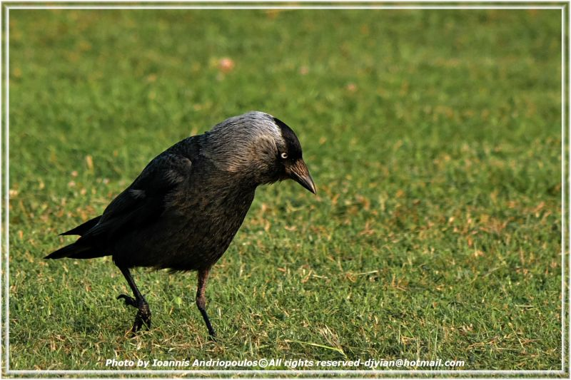 Jackdaw(κάργια) Scientific name: Corvus monedula