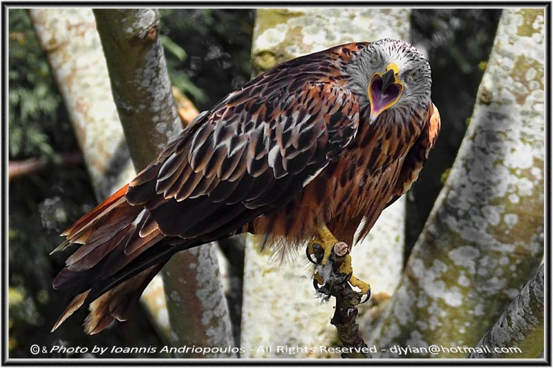Red Kite (Scientific name: Milvus milvus)-Ψαλιδιάρης
