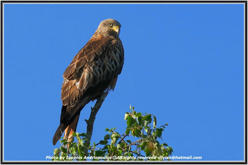 Red Kite- (Scientific name: Milvus milvus)-Ψαλιδιάρης-