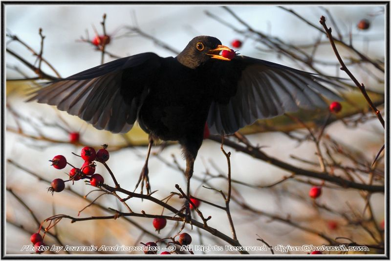 Too Many Fruits (Blackbird)