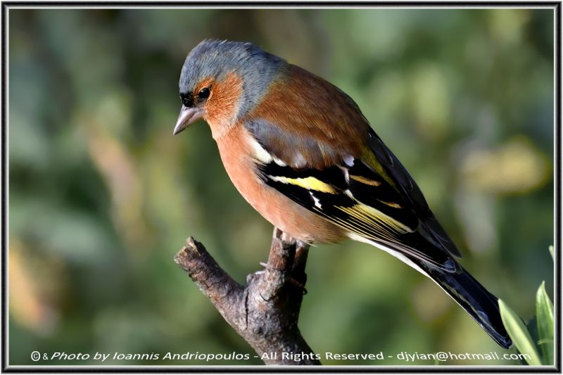 Chaffinch (Scientific name: Fringilla coelebs)-Αρσενικοs Σπινοs