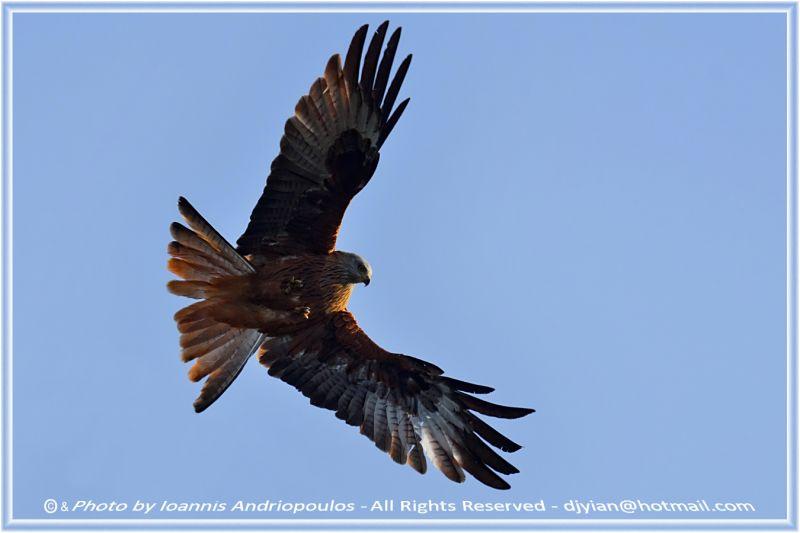 Red Kite#