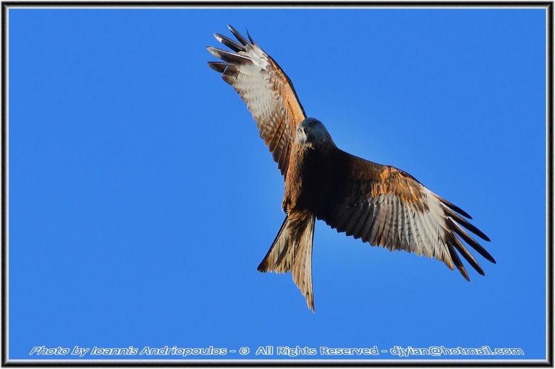 Stretch (Red Kite)