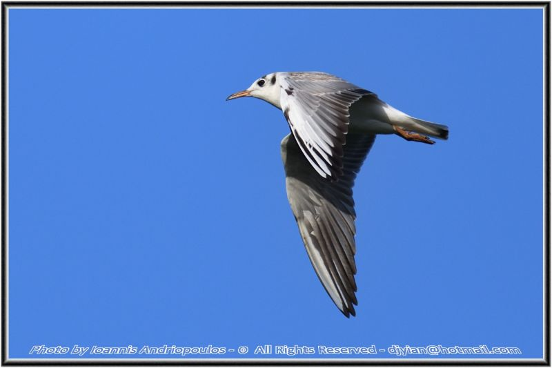 In the Blue(Seagull)