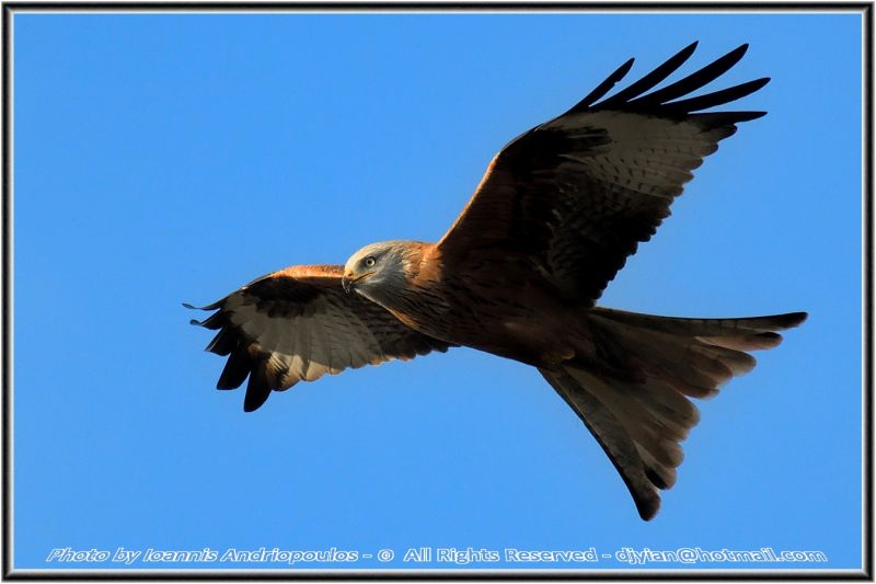 Red Kite (test crop 1.3x sensor 18-12)