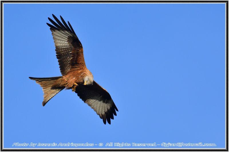 Red Kite,,