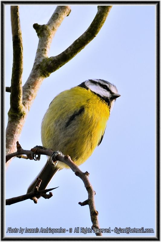 Blue tit (Scientific name: Cyanistes caeruleus)-Γαλαζοπαπαδίτσα