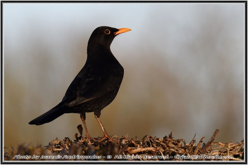 Blackbird(Turdus merula)-Κότσυφας