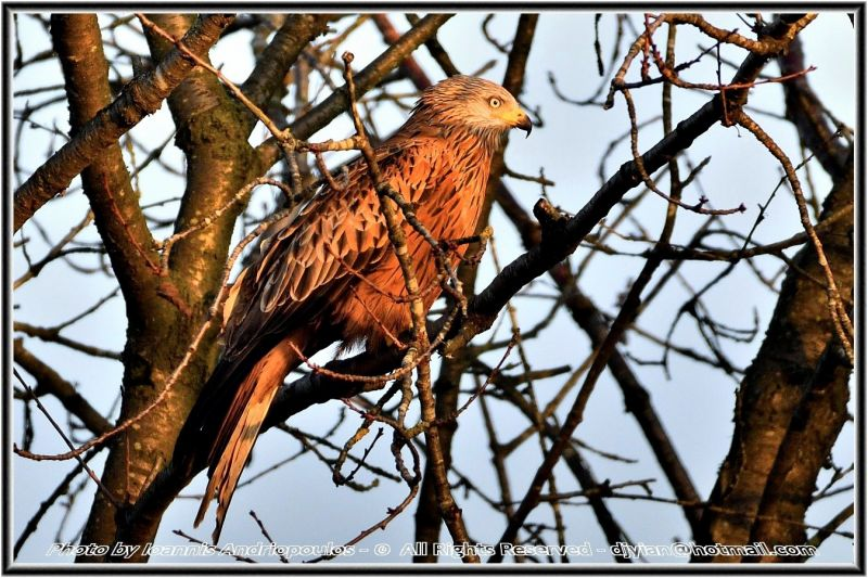 Red Kite(Milvus milvus)-Ψαλιδιάρης-Enjoying the morning sun...