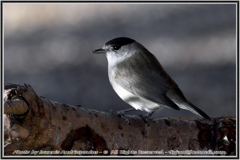 Blackcap(Sylvia atricapilla)-Male- Μαυροσκούφης