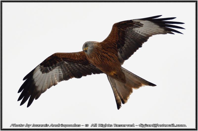 Red Kite(Milvus milvus)-Ψαλιδιάρης.