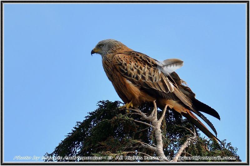 Red Kite(Milvus milvus)-Ψαλιδιάρης,