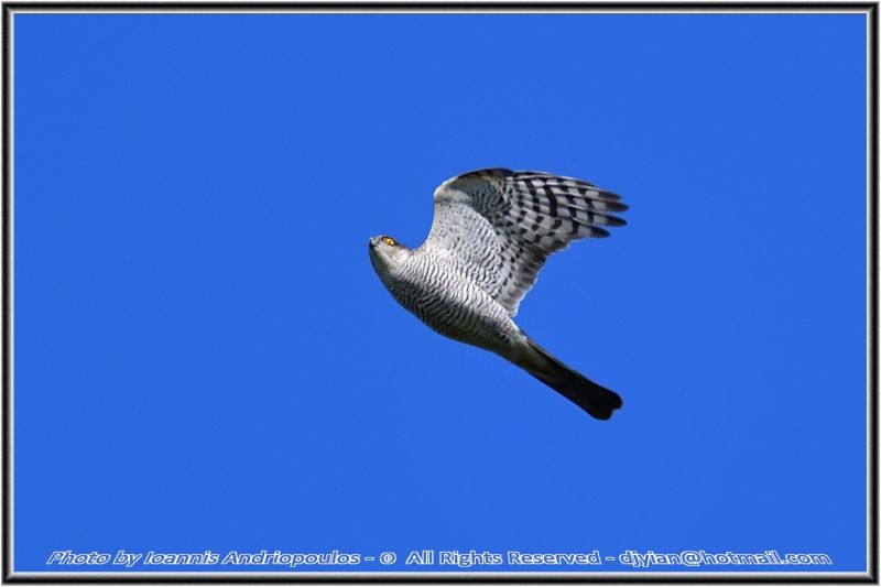 Sparrowhawk(Female)-(Accipiter nisus)Ξεφτερι