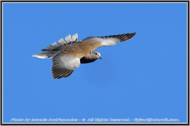 Collared dove(Streptopelia decaocto)-Δεκαοκτουρα