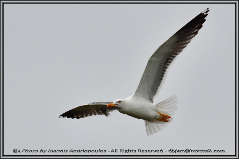 Great black-backed gull (Scientific name: Larus marinus)