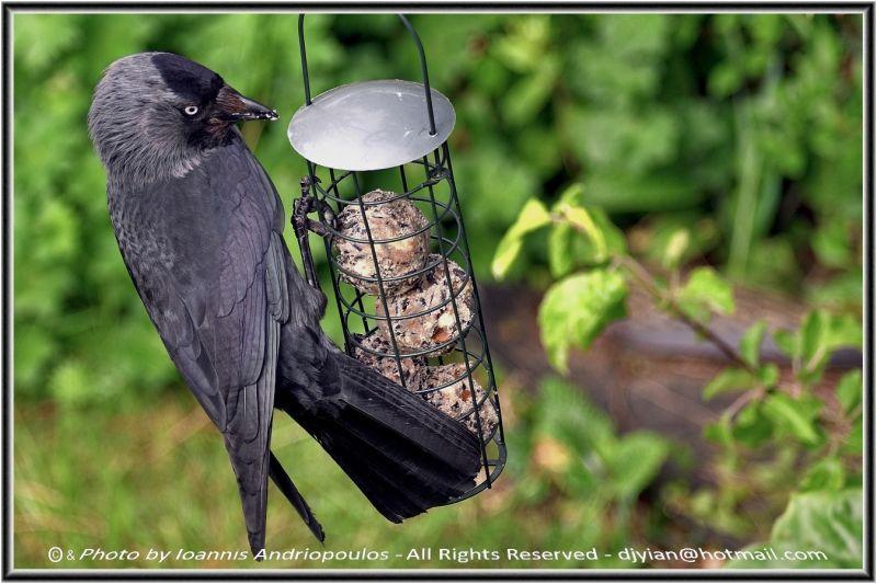 Jackdaw(Scientific name: Corvus monedula)