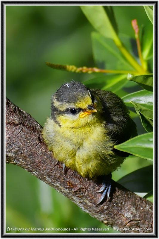 Young Blue tit (Scientific name: Cyanistes caeruleus)