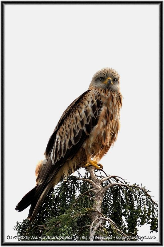 Young Red Kite (Scientific name: Milvus milvus)-Ψαλιδιάρης