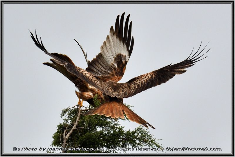 Wings - Red Kites (Scientific name: Milvus milvus)