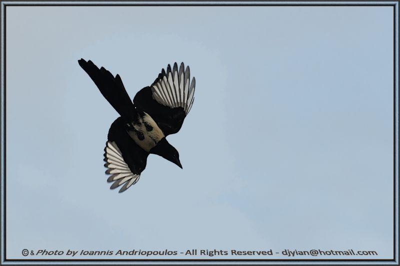 Magpie(Scientific name: Pica pica)