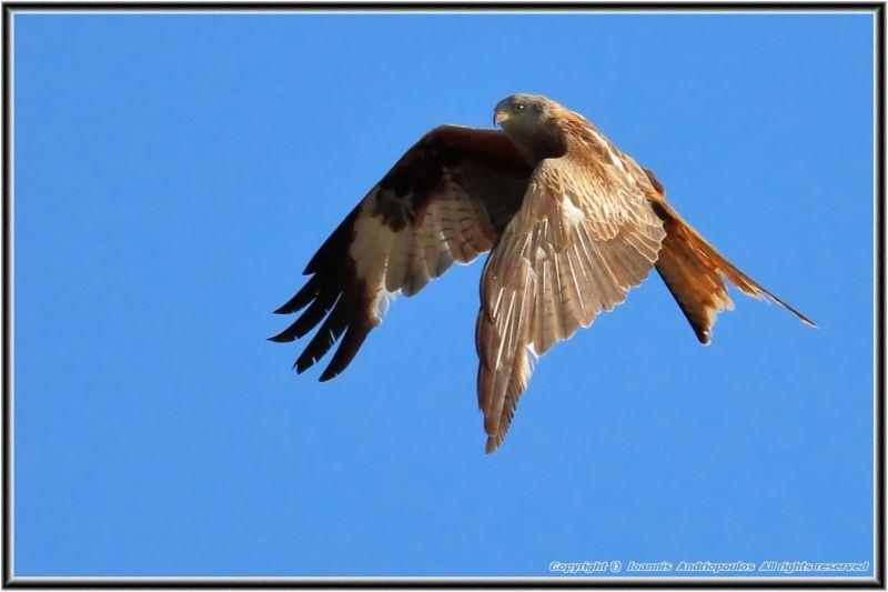 Red Kite: