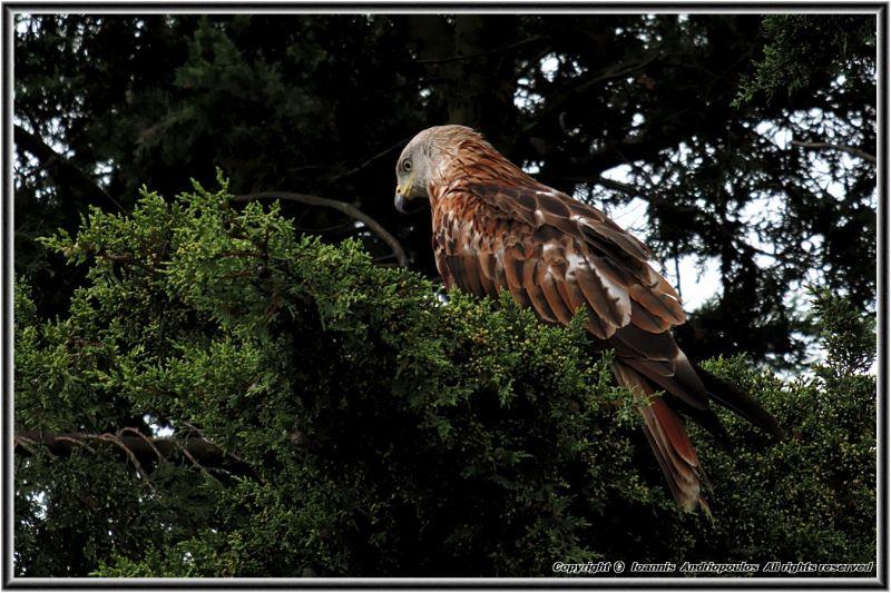 Red Kite,