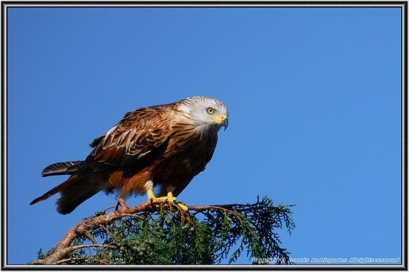 Red Kite-,