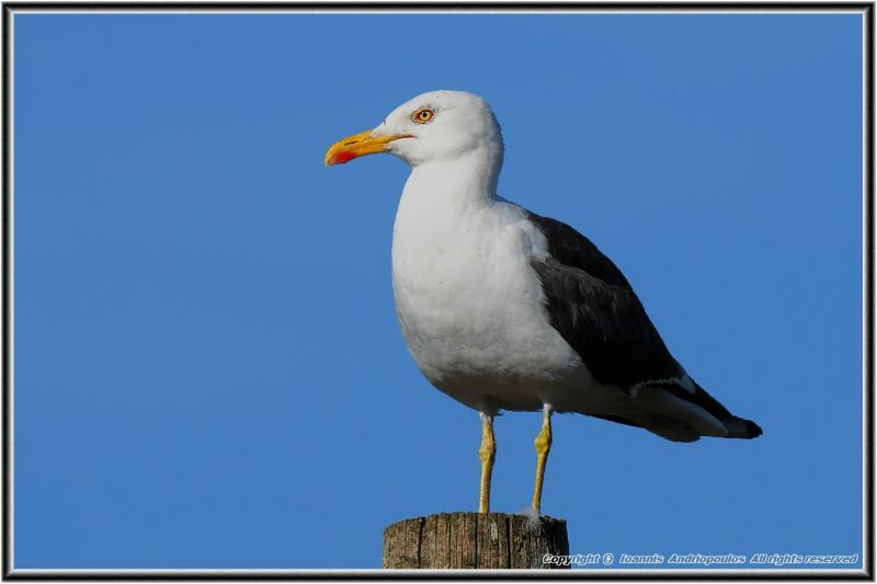 Seagull on the post