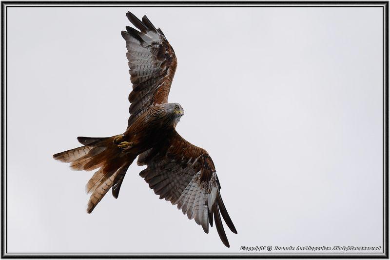 Red Kite=