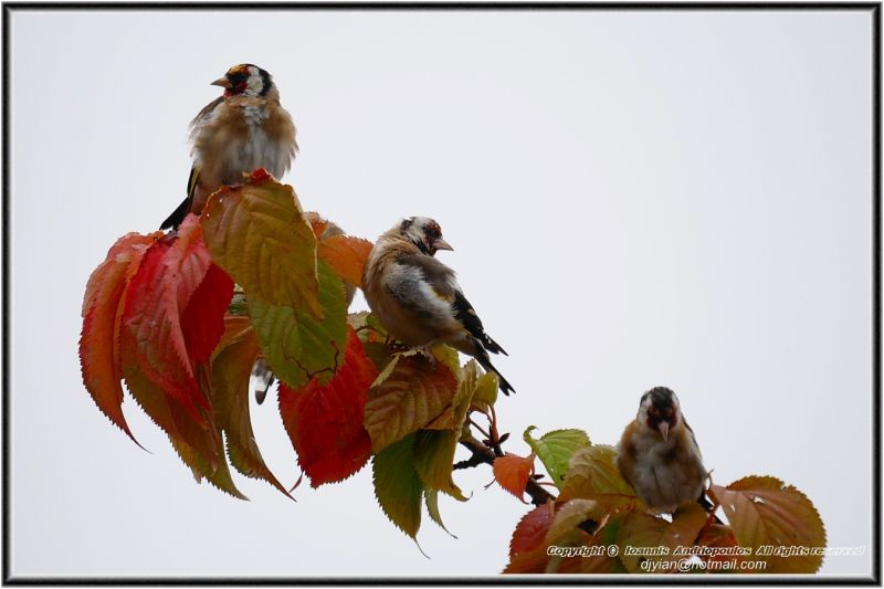 Goldfinches in Autumn Colours