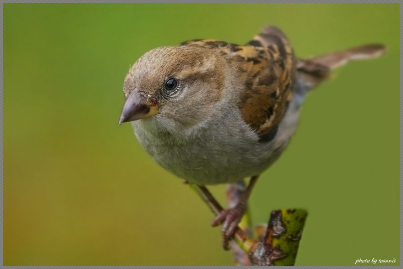 Sparrow (female)