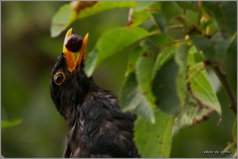 blackbird*