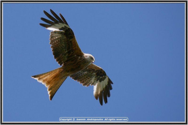 Red Kite/