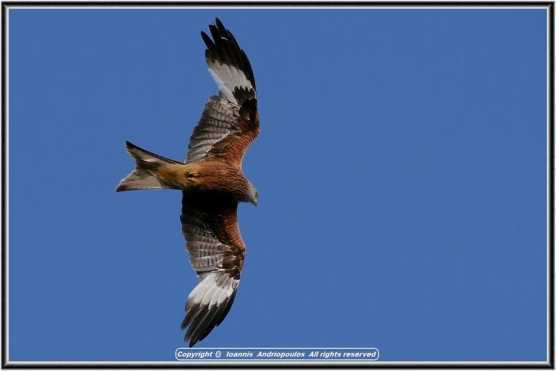 Red Kite//