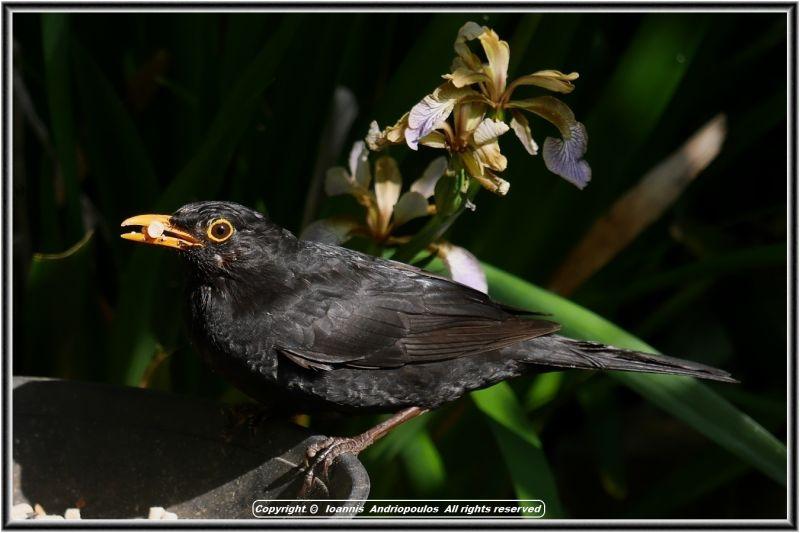 Blackbird /(kοτσιφαs)
